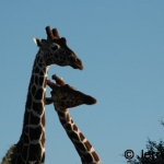 Reticulated Giraffes necking
