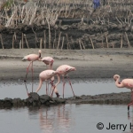 Four flamingos at Lake Katwe salt mine, Uganda