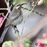 Bronze sunbird female