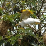 Egret attacking black-headed weaver nests while an adult bird tries to distract it