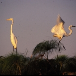 Yellow-billed egrets, Okavango