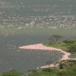 Flamingos on the shoreline at Lake Baringo, Kenya