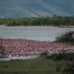 Massed flamingos on the shore-line