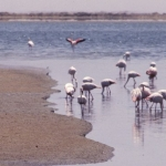 Flamingos at Walvis Bay, Namibia