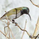 Green-headed sunbird male