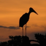 Marabou stork sunset
