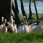Pelicans, Lake Nakuru, Kenya
