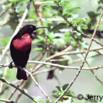 Scarlet-chested sunbird male