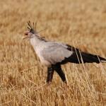 Secretary bird, Timau, Kenya.marania-500