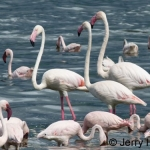 Lesser and greater flamingos, Lake Baringo