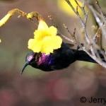 Tacazee sunbird male