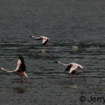 Flamingos on Lake Baringo