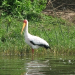 Yellow-billed Stork. Uganda