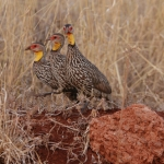 Yellow-necked Spurfowl trio, Kenyai