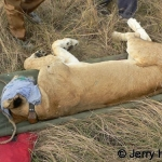 Immobilized lion with blue eye cover