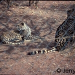 Normal and king cheetah. The king cheetah markigs are due to recessive gene. Some managers breed them as