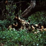 African WIld dog pups, early evening, waiting for the retrun of the adults, Madikwe