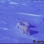Polar bear sow & 2 cubs