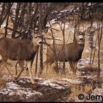 Two mule deer in bush