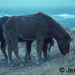 Two Sable Island ponies