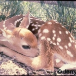 White-tailed deer fawn, 2 days old