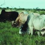 Boran bulls