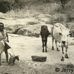 A boy and his dog with the family cattle