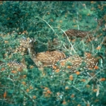 Eight axis deer does (count them) in a lantana bush