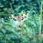 One axis deer doe in a lantana bush