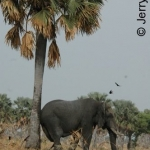 Elephant relieving an itch on a handy Bourassas palm. Murchison Falls NP, Uganda