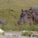 Hippo mother and young with red-billed oxpeckers