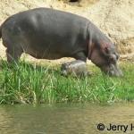 Hippo and small calf