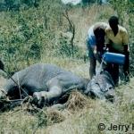 Cooling an elephant in Rwanda, 1975