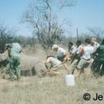 Pulling down darted white rhino 1997
