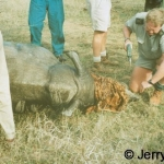 Inserting microchip into immobilized rhino\'s horn 1997