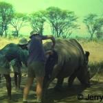 Treating white rhino 1967