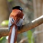 Malagasy paradise flycatcher m