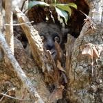 Spotted lemur