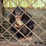 Caged young chimp, victim of the bushmeat trade