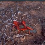 Copulating locusts