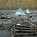 Reindeer and cattle in camp