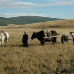 yak cart in the steppe