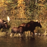 A bull, cow and calf during the rutting season