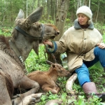 Tatiana Minaeva and a Kostroma moose cow with calf