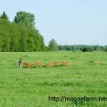 Early morning run for calves at Kostroma moose farm