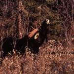Flehmen behaviour of a bull moose during the rut