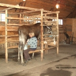 Hand milking at the Kostroma moose farm