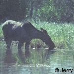 Moose cow drinking in the Kingsmere river. Photo taken at about 20 metres with 55mm lens, no cropping.