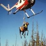 Moose weighing