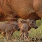 Three new warthogs